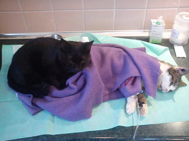 Фото 3 - удивительная кошка медсестра помогает ухаживать за больными животными