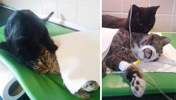 Фото 4 - удивительная кошка медсестра помогает ухаживать за больными животными