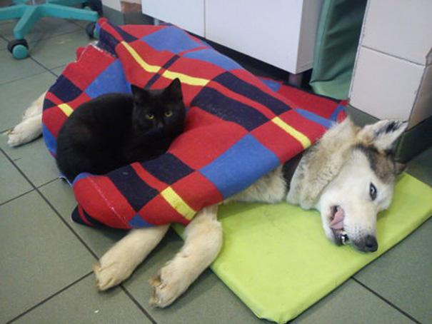 Фото 5 - удивительная кошка медсестра помогает ухаживать за больными животными