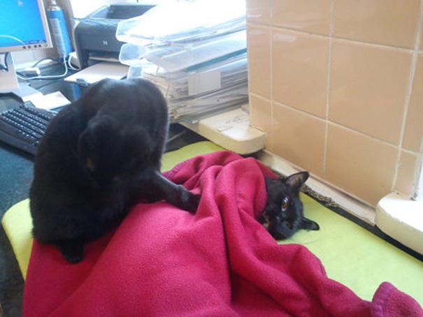 Фото 7 - удивительная кошка медсестра помогает ухаживать за больными животными