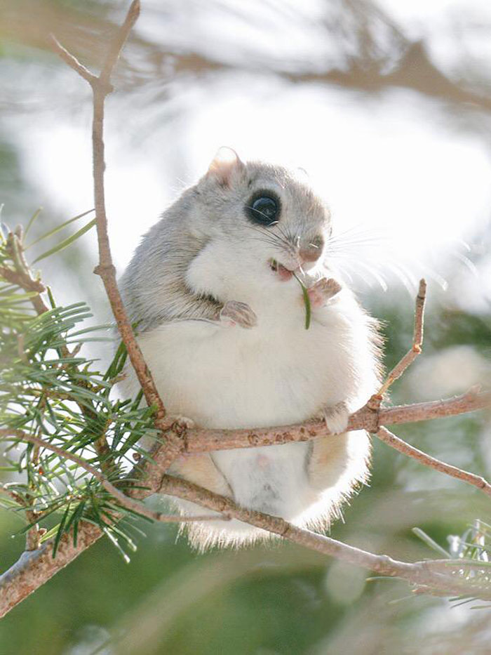 Сибирская белка летяга, кажется, самое симпатичное животное на Земле!
