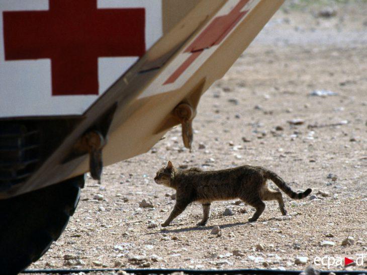 30 героических котов, принявших участие в войнах