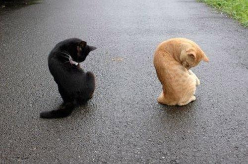 Фото 16 - 20 пар совершенно синхронных котов