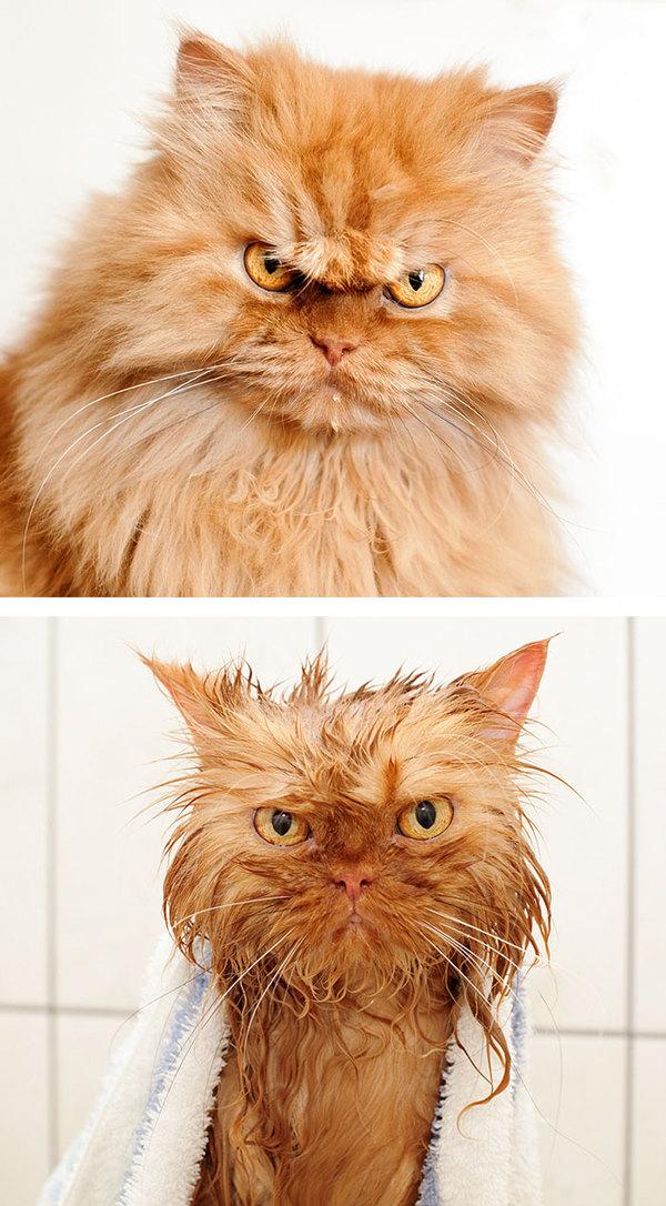 Фото 3 - помытые и оскорблённые 8 котов принявших ванну