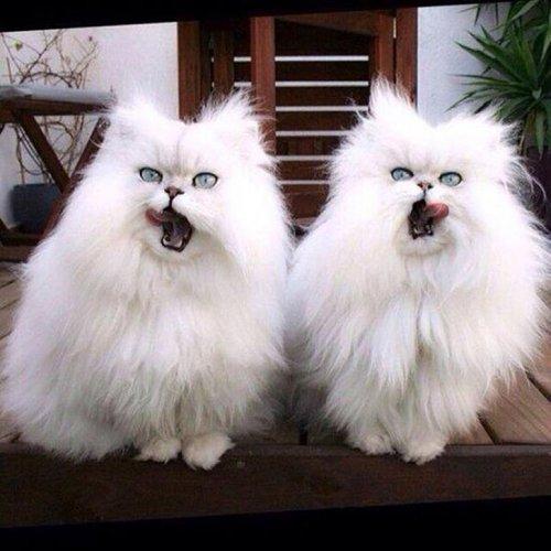Фото 3 - 20 пар совершенно синхронных котов
