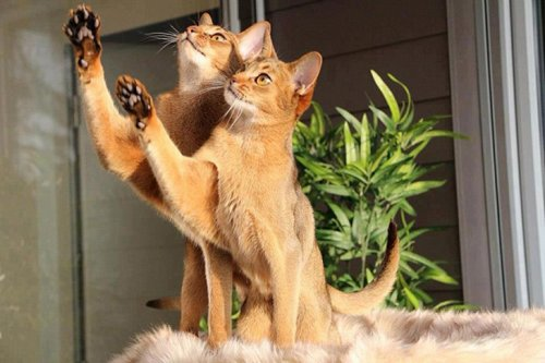 Фото 7 - 20 пар совершенно синхронных котов