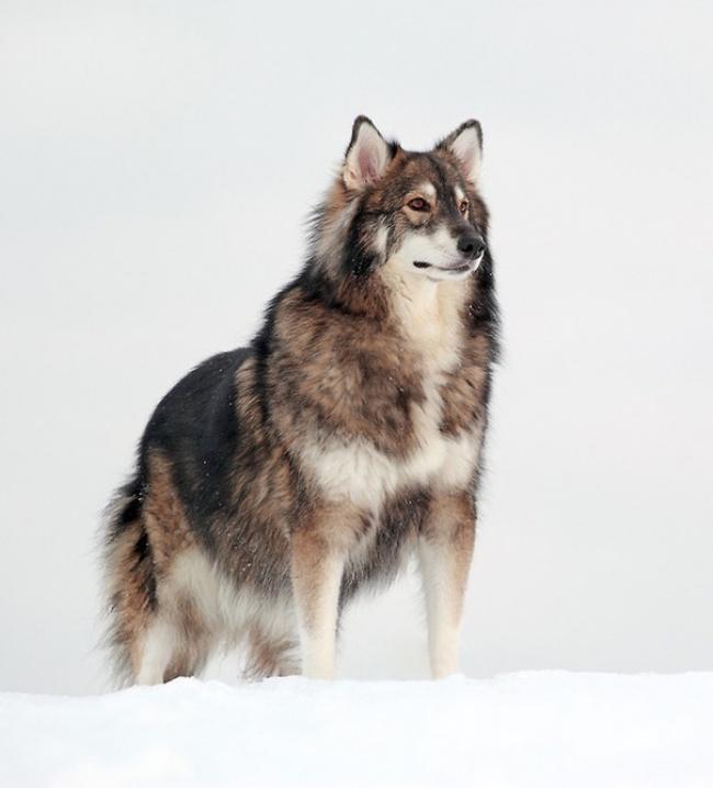 Фото 4 - 15 настолько симпатичных пород собак что даже не верится