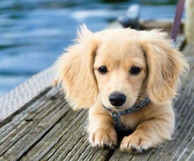 Фото 5 - 15 настолько симпатичных пород собак что даже не верится