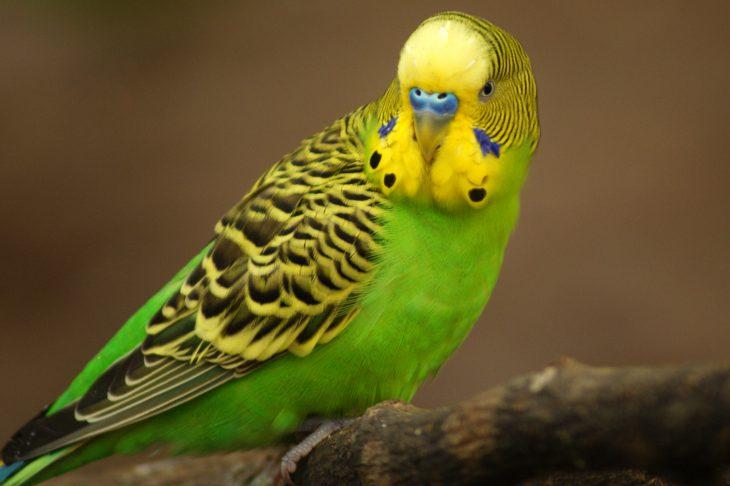 Соседке подарили слишком талантливого попугая. Мы с него попадали!