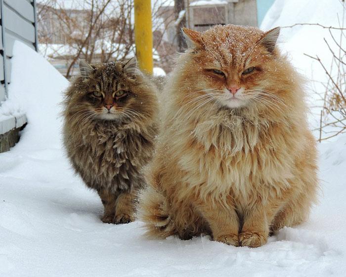 Фото 10 - пушистые красавчики 30 самых чудесных котиков со всего мира