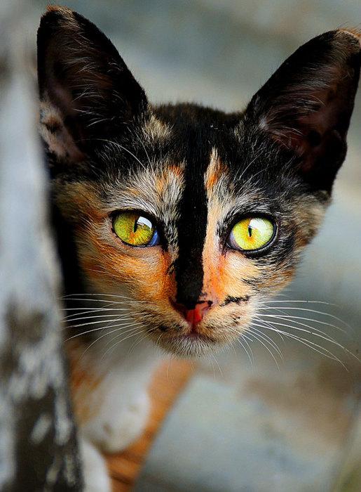 Фото 14 - пушистые красавчики 30 самых чудесных котиков со всего мира
