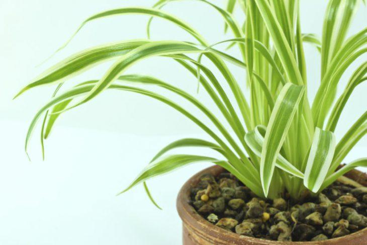 Фото 3 - 9 самых неприхотливых растений очищающих воздух от вредных веществ