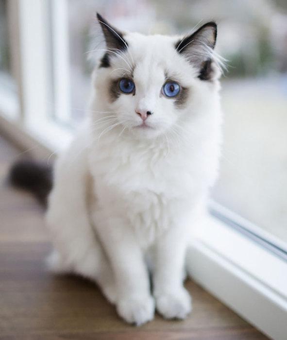 Фото 20 - пушистые красавчики 30 самых чудесных котиков со всего мира
