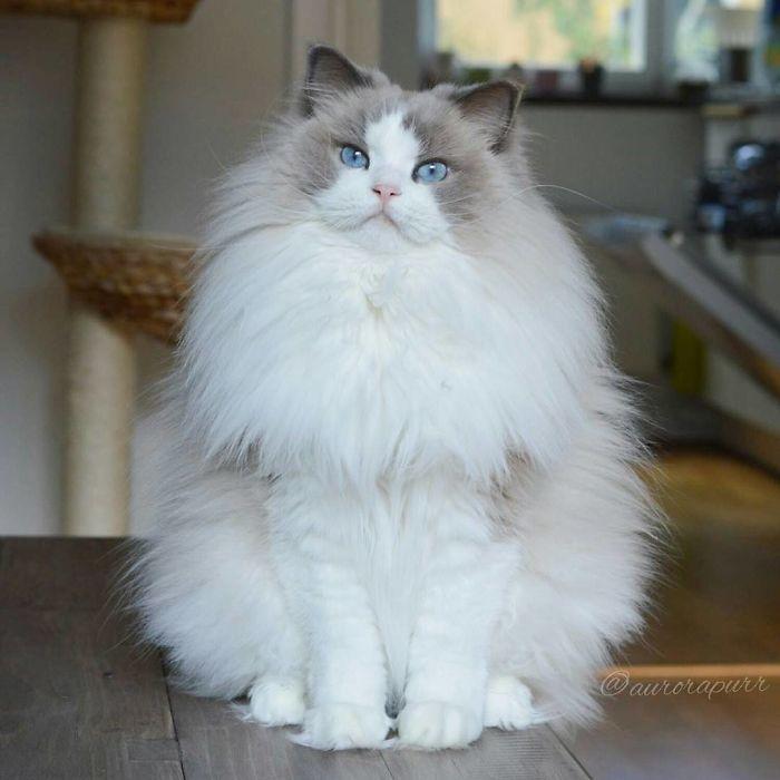Фото 21 - пушистые красавчики 30 самых чудесных котиков со всего мира