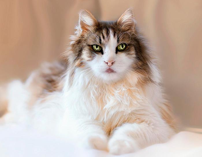 Фото 25 - пушистые красавчики 30 самых чудесных котиков со всего мира
