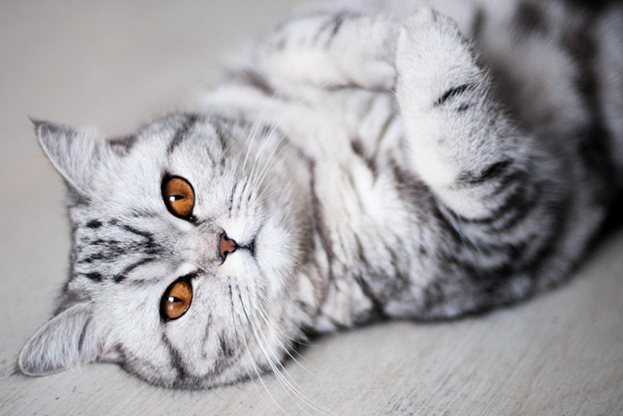 Фото 27 - пушистые красавчики 30 самых чудесных котиков со всего мира