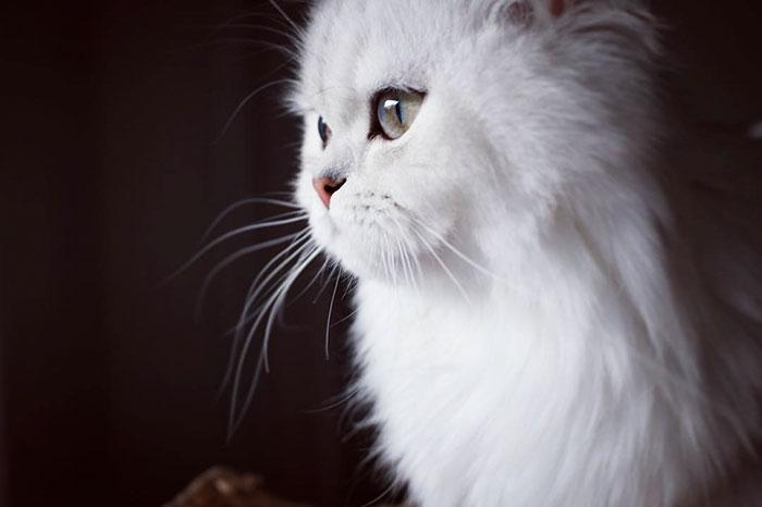 Фото 28 - пушистые красавчики 30 самых чудесных котиков со всего мира