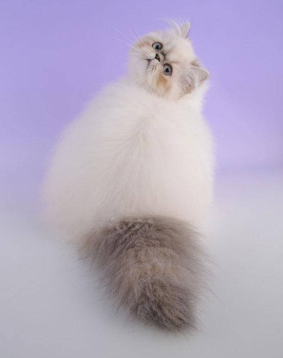 Фото 29 - пушистые красавчики 30 самых чудесных котиков со всего мира
