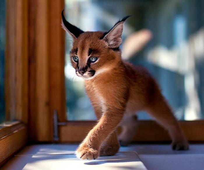 Фото 5 - пушистые красавчики 30 самых чудесных котиков со всего мира