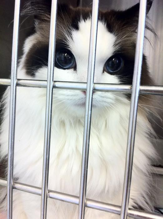 Фото 7 - пушистые красавчики 30 самых чудесных котиков со всего мира
